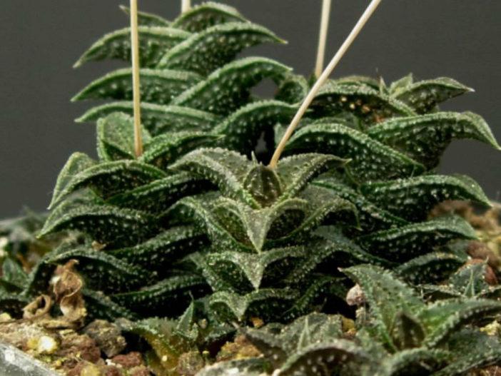 Haworthia nigra (Black Haworthia)