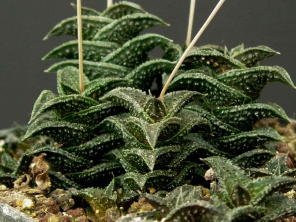 Haworthia nigra - Black Haworthia | World of Succulents