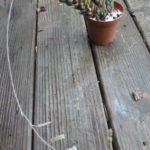 Haworthia reinwardtii (Zebra Wart)