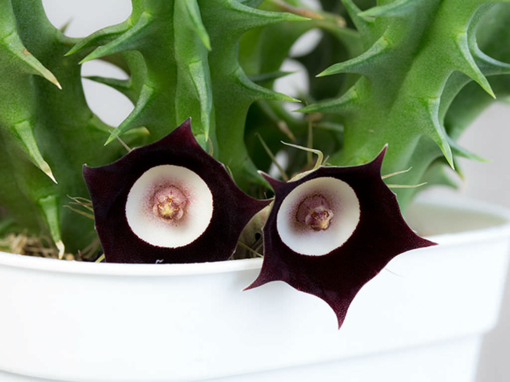 Image result for Huernia Oculata