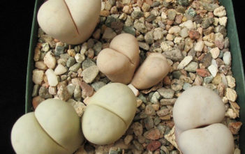 Lithops ruschiorum subsp. nelii (Bushman's Buttocks)