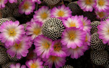 Mammillaria luethyi