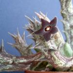 Orbea decaisneana subsp. hesperidum