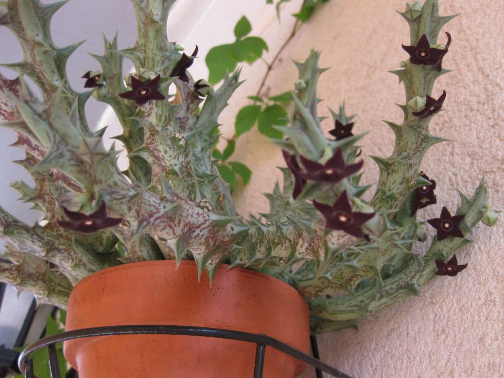 Orbea Decaisneana Subsp Hesperidum World Of Succulents