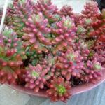 Sedum rubrotinctum 'Aurora' (Pink Jelly Bean) aka Sedum x rubrotinctum 'Aurora'