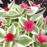 Aptenia cordifolia f. variegata (Variegated Hearleaf Ice Plant)