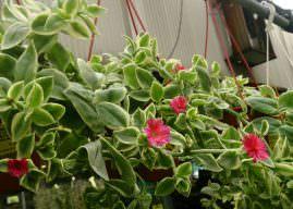 Aptenia cordifolia 'Variegata' – Variegated Hearleaf Ice Plant