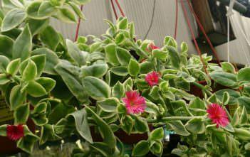Aptenia cordifolia 'Variegata' - Variegated Hearleaf Ice Plant