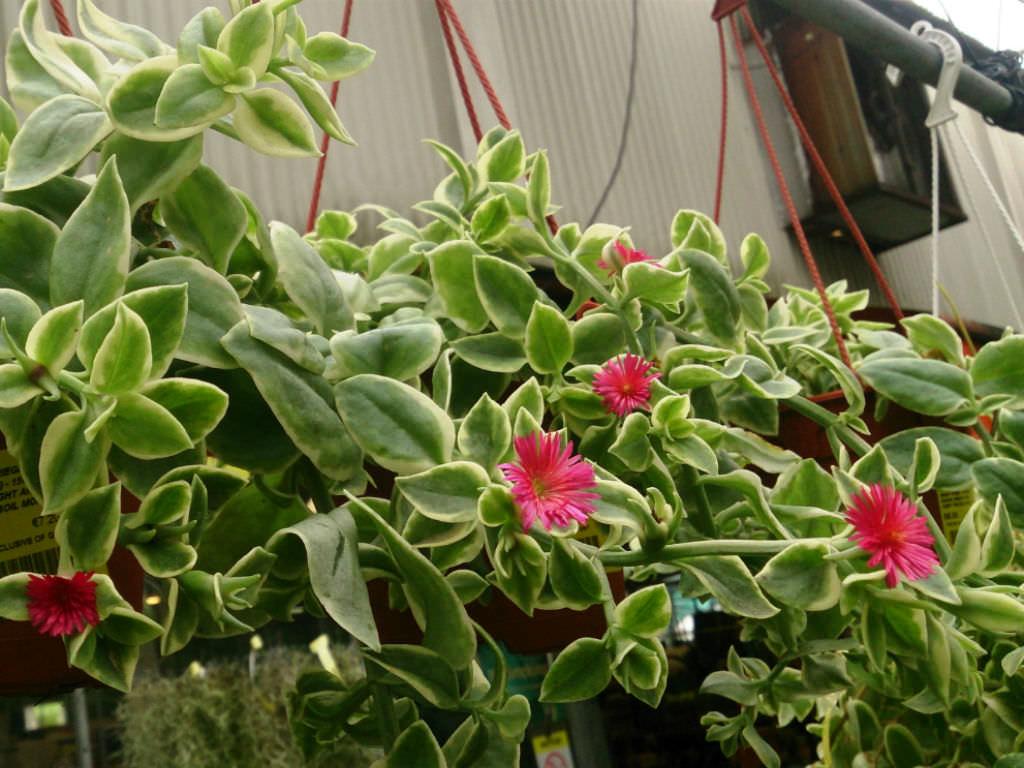 Aptenia Cordifolia Variegata Variegated Hearleaf Ice