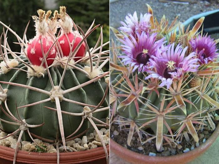 Grow and Care Barrel Cactus