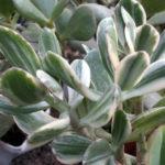 Crassula ovata 'Variegata' - Variegated Jade Plant