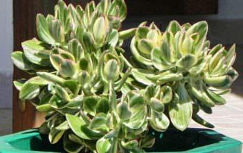Crassula ovata 'Tricolor' (Variegated Jade Plant) aka Crassula ovata 'Lemon & Lime'