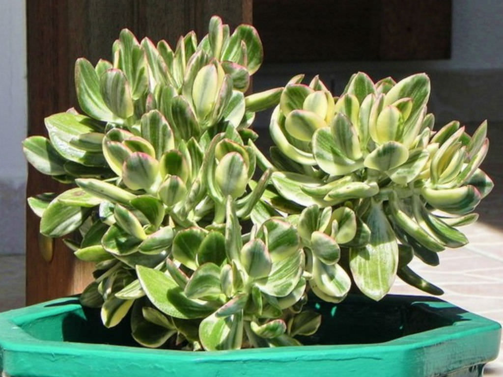 Crassula Ovata 39 Variegata 39 Variegated Jade Plant World