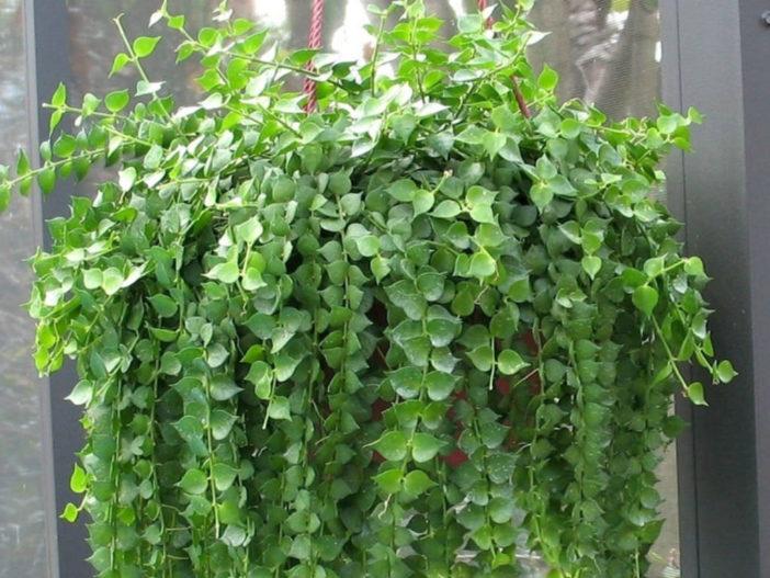 Grow and Care Dischidia (Dischidia ruscifolia)