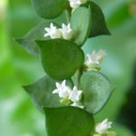 Dischidia ruscifolia (Million Hearts)
