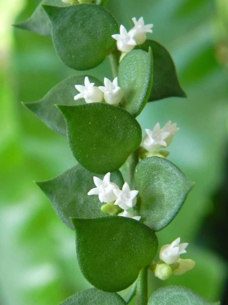 Garden Bush: Dischidia Ruscifolia - Million Hearts