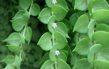Dischidia ruscifolia (Million Hearts)