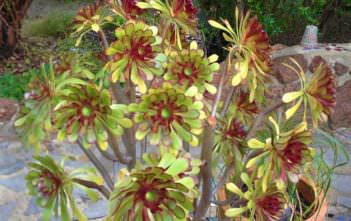 Divide and Propagate an Aeonium
