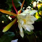 Epiphyllum laui - Orchid Cactus