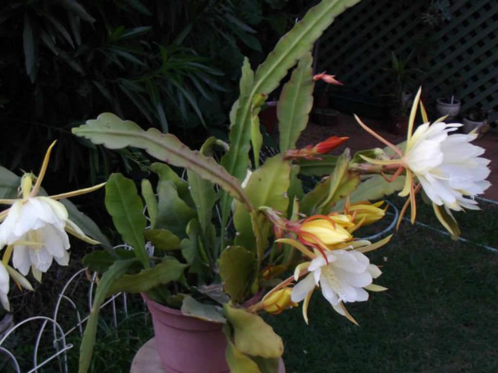 Epiphyllum laui (Orchid Cactus)