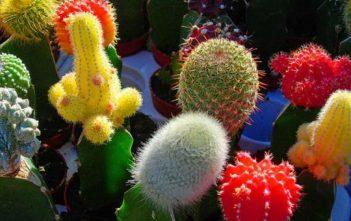 Grafting Cacti