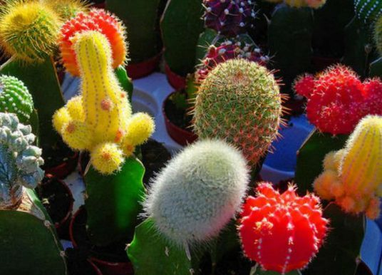Tips for Grafting Cacti