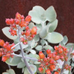 Kalanchoe bracteata - Silver Teaspoons