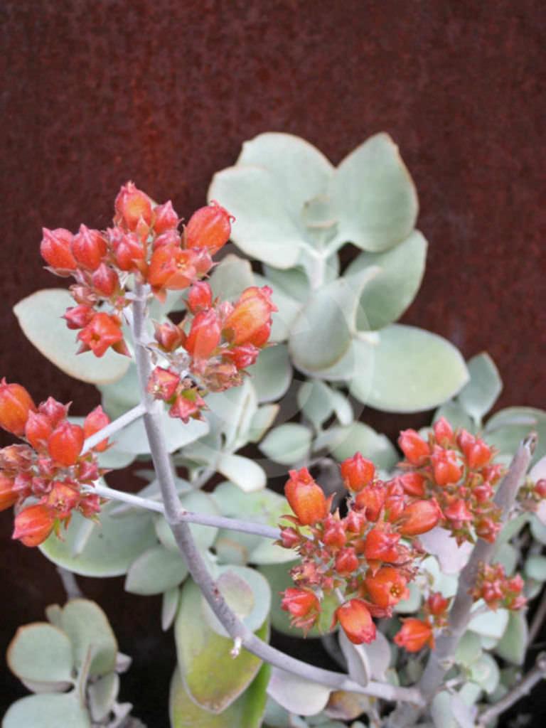kalanchoe bracteata silver teaspoons world of succulents