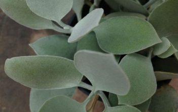 Kalanchoe hildebrandtii - Silver Teaspoons