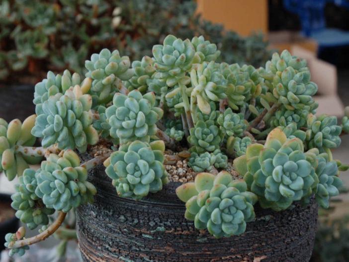 Sedum clavatum cluster succulents