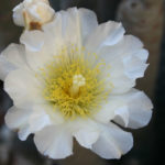 Tephrocactus articulatus - Paper Spine Cactus