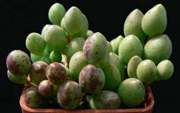 Adromischus filicaulis subsp. marlothii