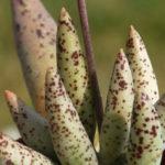 Adromischus filicaulis