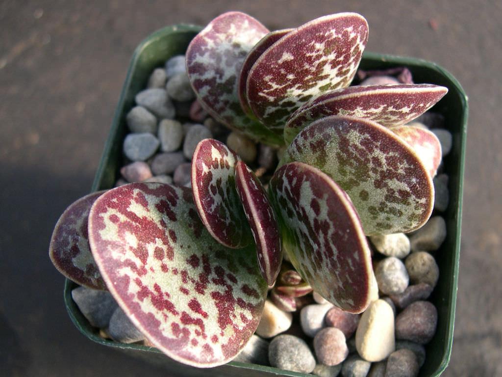 Adromischus Maculatus Calico Hearts World Of Succulents