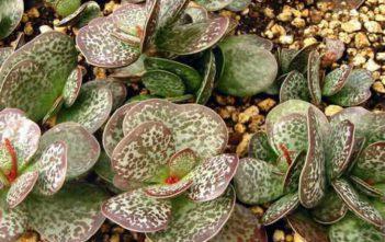 Adromischus maculatus (Calico Hearts)