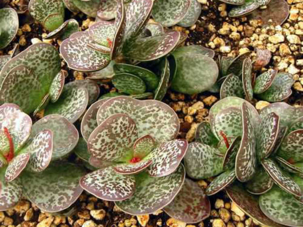 Adromischus Maculatus Calico Hearts World Of Succulents