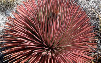 Agave stricta f. rubra - Red Hedgehog Agave