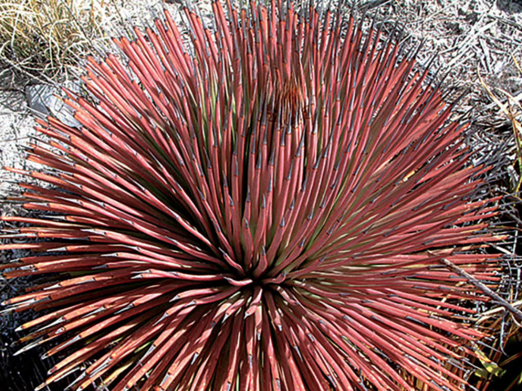 Agave-stricta-f.-ru-Red-Hedgehog-Agave1 Names Of Succulent Houseplants on succulent plants, succulent planters, succulent design, succulent bonsai, succulent greenhouses, succulent pottery, succulent shrubs, succulent care, succulent flowers, succulent soil, succulent planting, succulent toxicity to dogs, succulent garden, succulent seeds, succulent perennials, succulent photography, succulent cactus, succulent gardening, succulent terrarium idea, succulent cuttings,