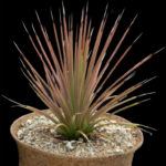 Agave stricta f. rubra (Red Hedgehog Agave)
