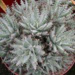 Aloe erinacea (Goree)