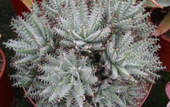 Aloe erinacea - Goree