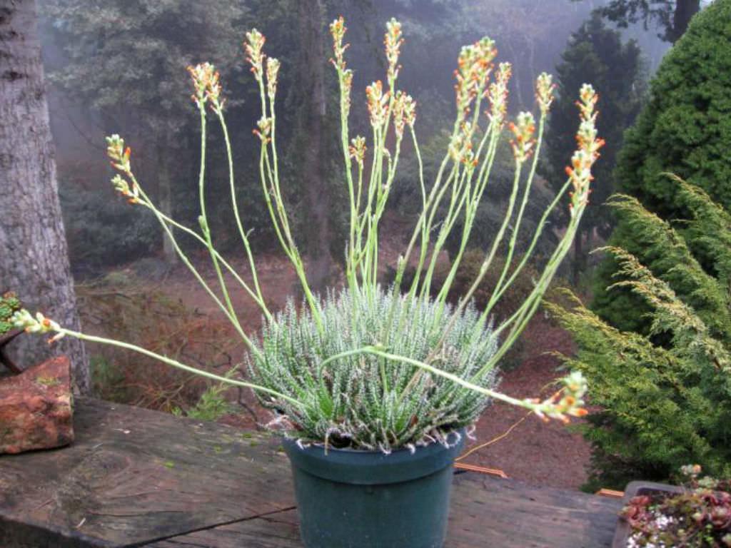 Aloe Haworthioides Haworthia Leaved Aloe World Of