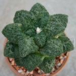 Ariocarpus fissuratus 'Godzilla'