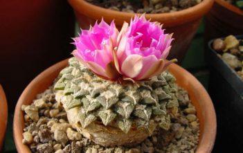 Ariocarpus kotschoubeyanus - Star Rock
