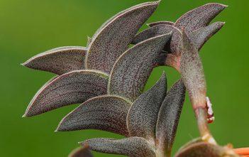 Callisia navicularis - Chain Plant