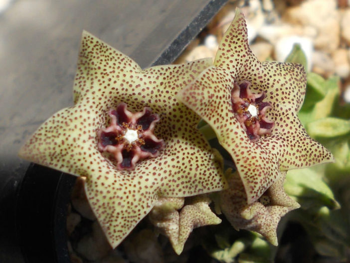 Caralluma hexagona