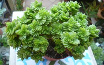 Crassula 'Estagnol'