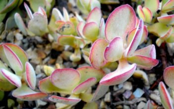 Crassula atropurpurea - Purple Crassula