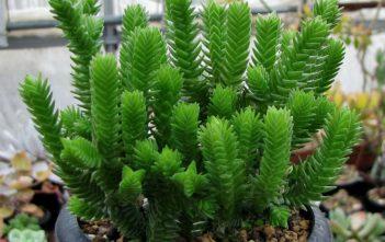 Crassula ericoides (Large Whipcord)