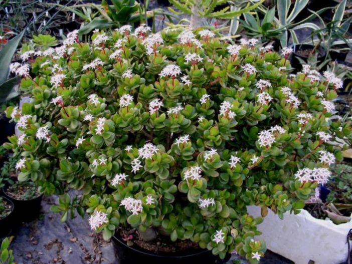 Get a Jade Plant to Bloom